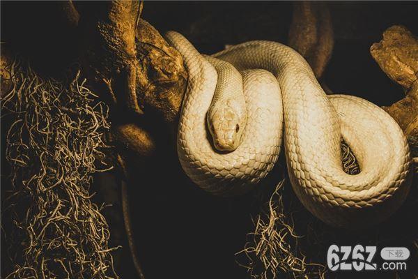 梦见大白蛇是什么预兆 梦见大白蛇周公解梦